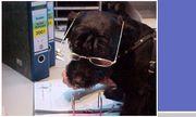 unser Hund Bärli bei der Arbeit